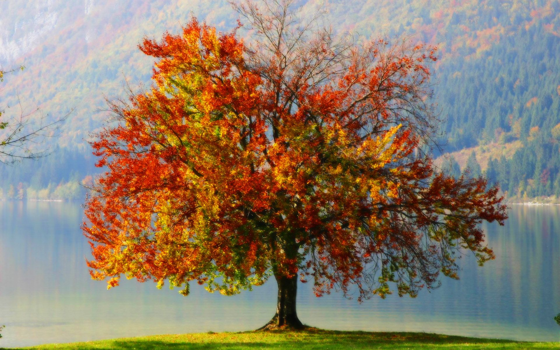 tree with coulour full leaves on autumn wallpaper - http