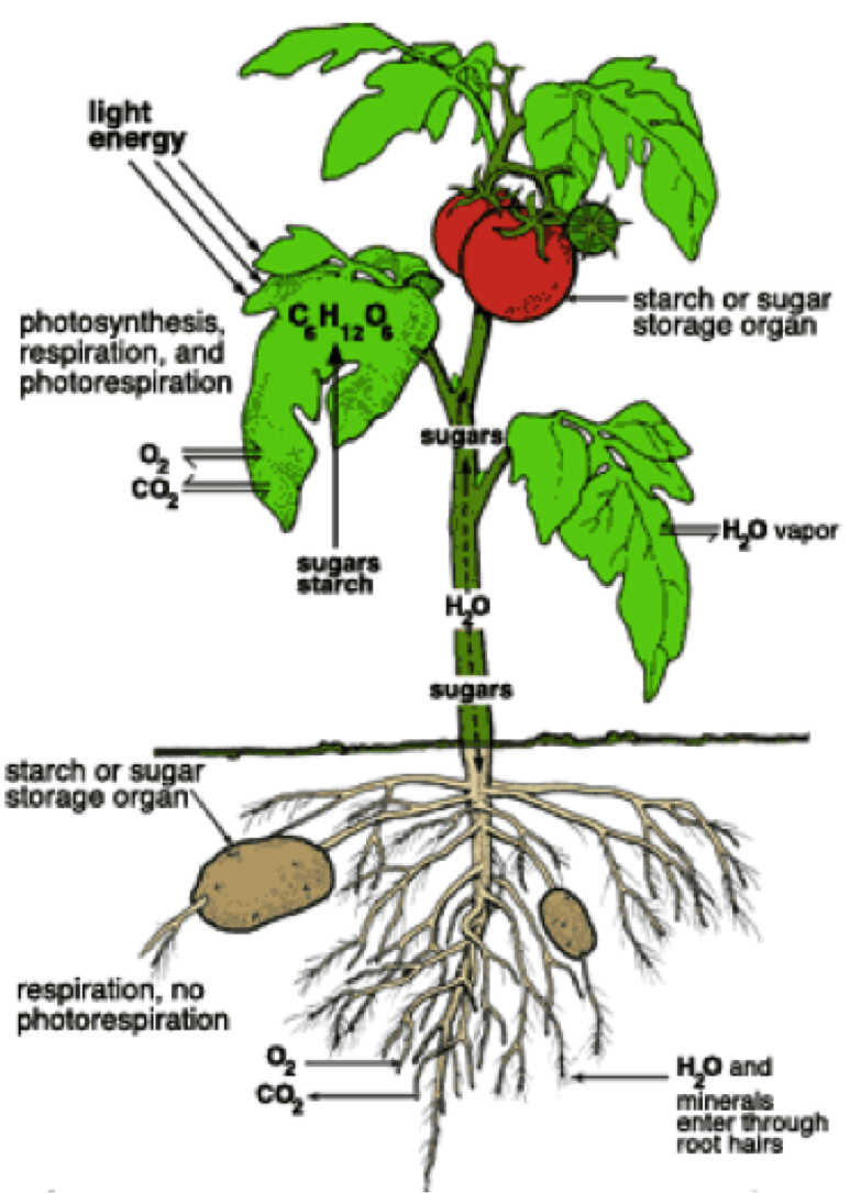 How to grow tomatoes and potatoes on one plant grow tomatoes how to grow tomatoes and potatoes on one plant pooptronica Choice Image