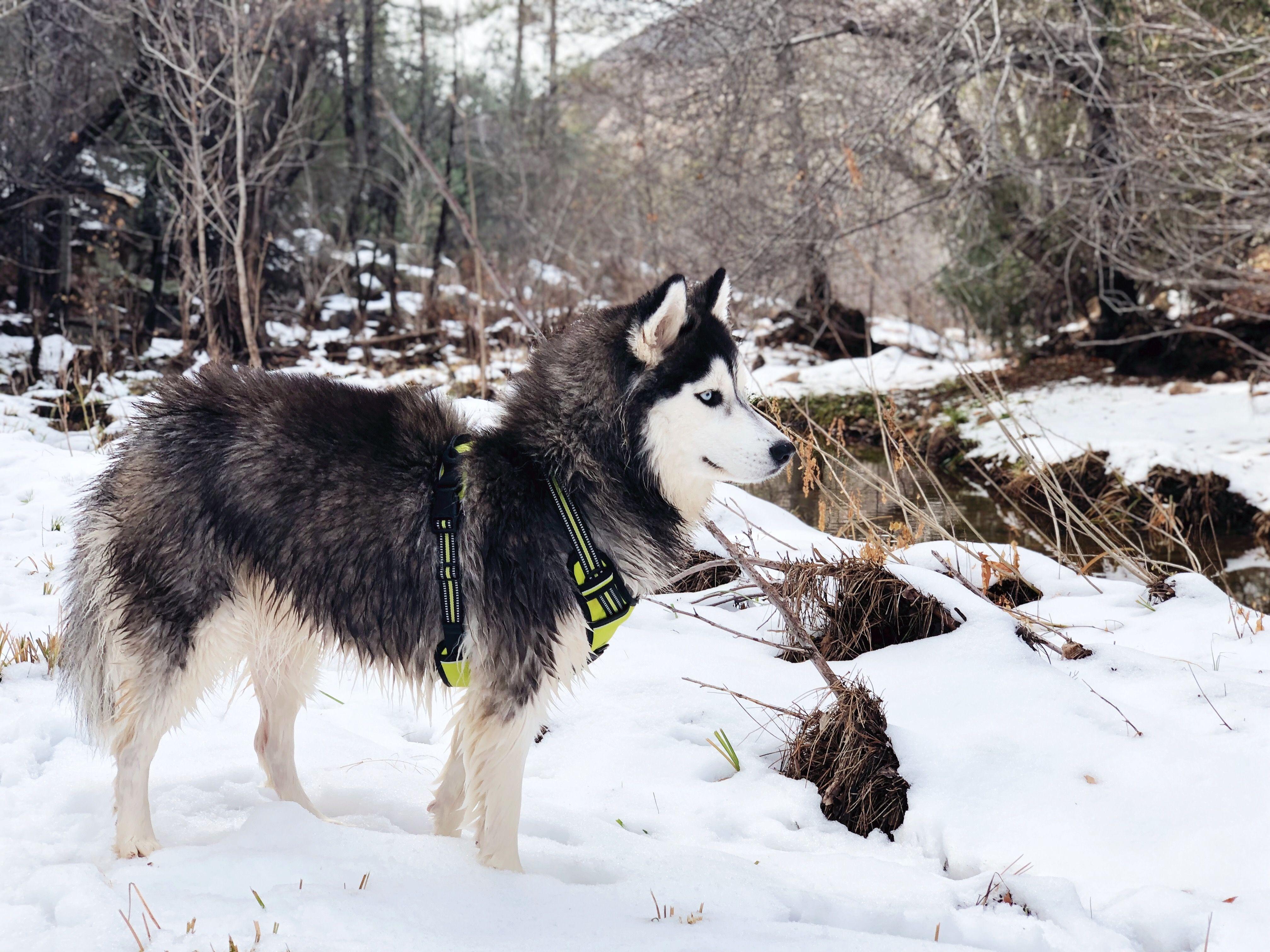 My Wooly Huskies Image By Alyssa Menasci Wooly Siberian Husky