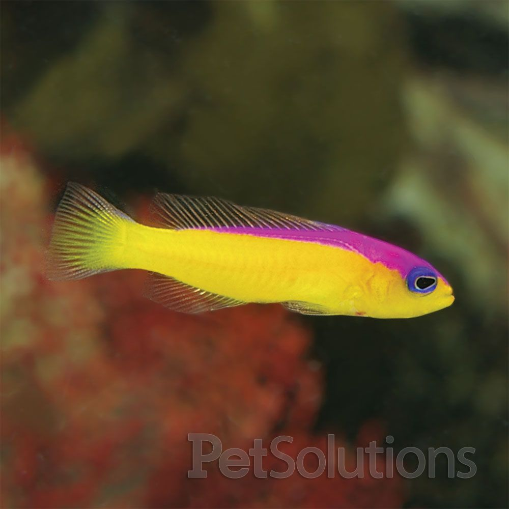 Pseudochromis | Diadema Pseudochromis Saltwater Fish Pinterest Reef Tanks