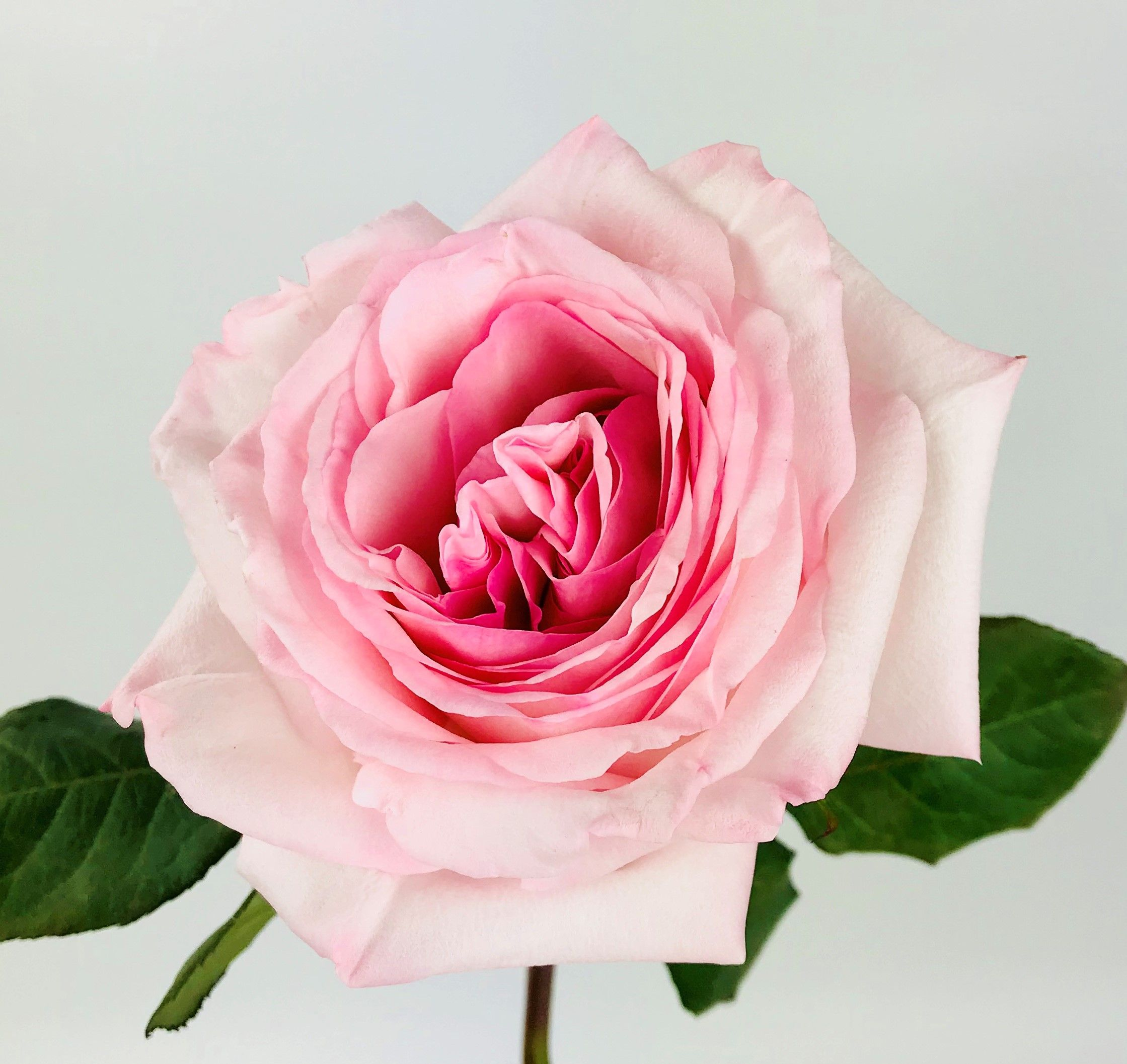 Pink O Hara Garden Rose With Images White And Pink Roses Rose