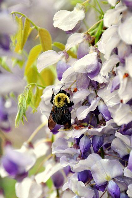Bumblebee in Wisteria