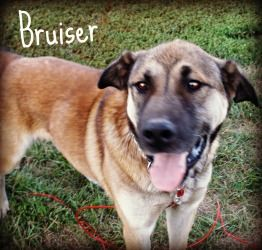 Adopt Bruiser On German Shepherd Dogs Shepherd Dog German Shepherd