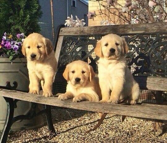 Golden Puppies Golden Retriever Puppies Animals Beautiful