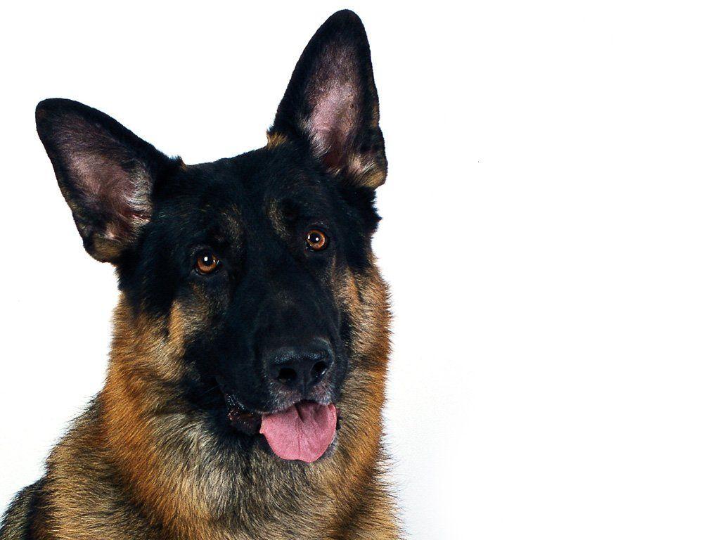 Ears Up Germanshepherd Dogs Animals Pets H U M L N