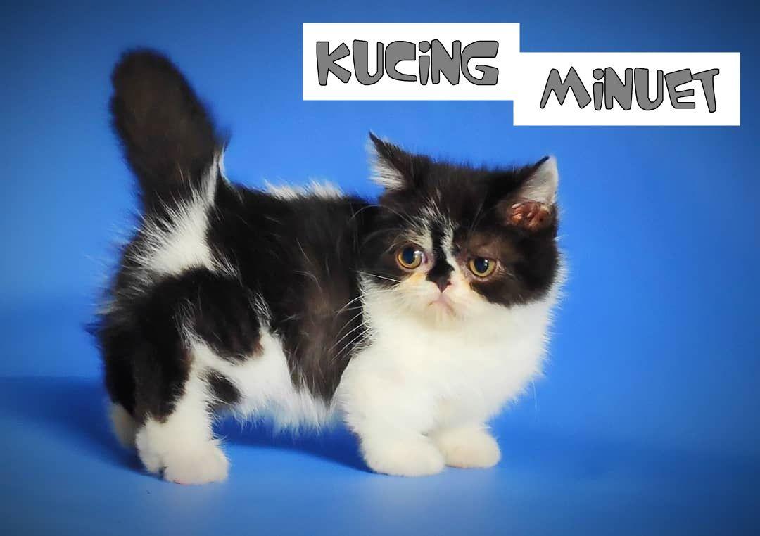 Mengenal Kucing Minuet Persilangan Kucing Munchkin Dan Kucing Persia Kucing Munchkin Kucing Kucing Persia