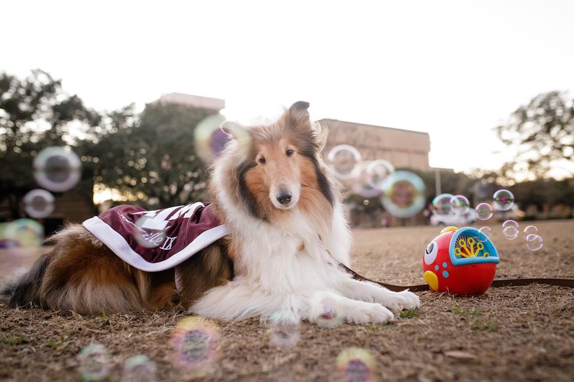 Miss Rev Loves Her Bubbles Famous Dogs Rough Collie Texas A M University
