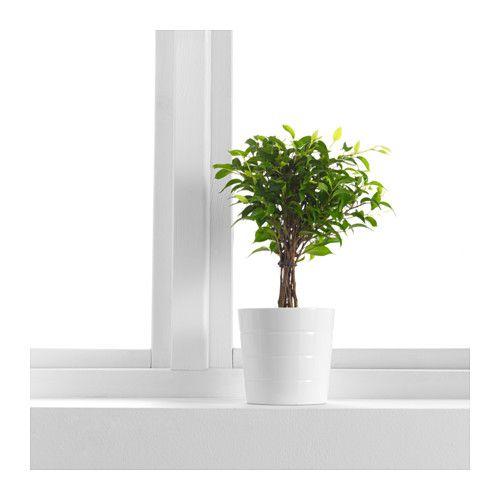 ficus benjamina 39 natasja 39 krukv xt sm bladig benjamin fikus badrummet pinterest blommor. Black Bedroom Furniture Sets. Home Design Ideas