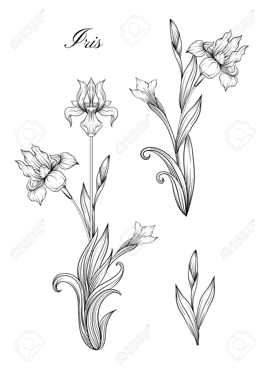 Iris Flower Fleur De Lis Flower De Luce Flag Element For Design Outline Hand Drawing Vector Illustration In A Iris Flowers How To Draw Hands Fleur De Lis