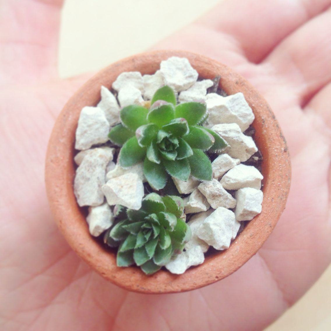 Mini succulents vivarium plants pinterest vivarium plants and