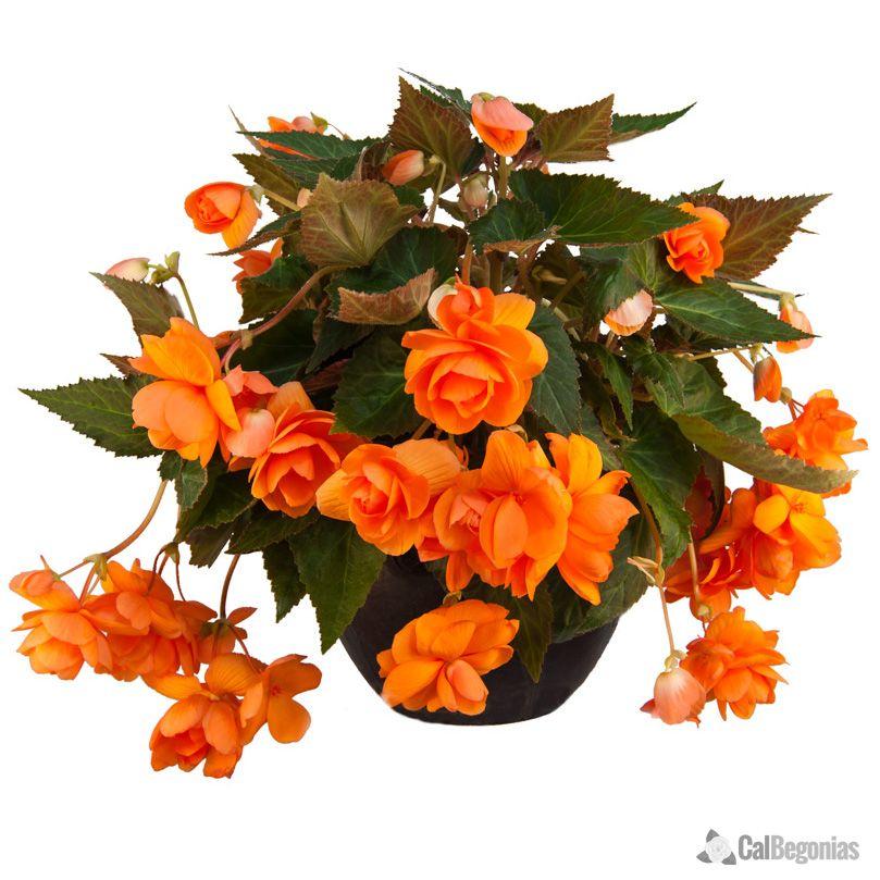 Amerihybrid Orange Hanging Basket Begonia Bulbs Hanging Flower Baskets Begonia Hanging Baskets
