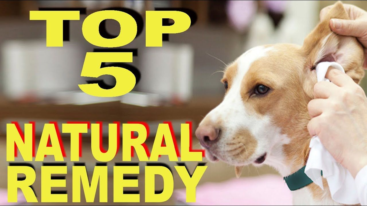 Dog ear infections natural remedies top check more