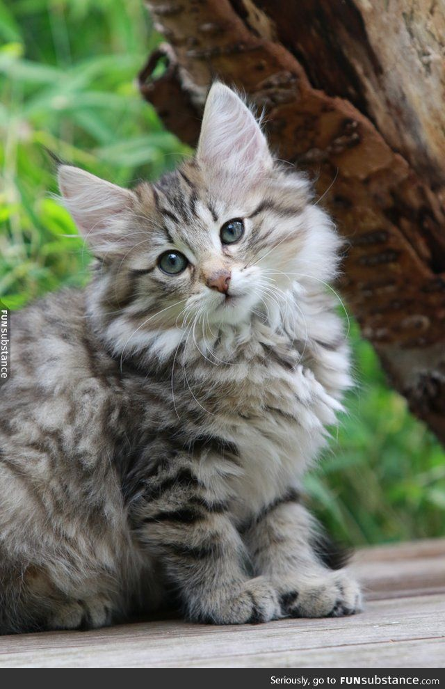 17  Most Popular Long Haired Cat Breeds | Cat, Animal and Forest cat