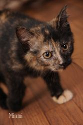 Miami is an adoptable Domestic Short Hair Cat in Red Wing, MN. Miami is a 3 1/2 month old female Tortie. She is spayed and has been given her 1st set of kitten vaccinations. Adoption Fee $100.00...