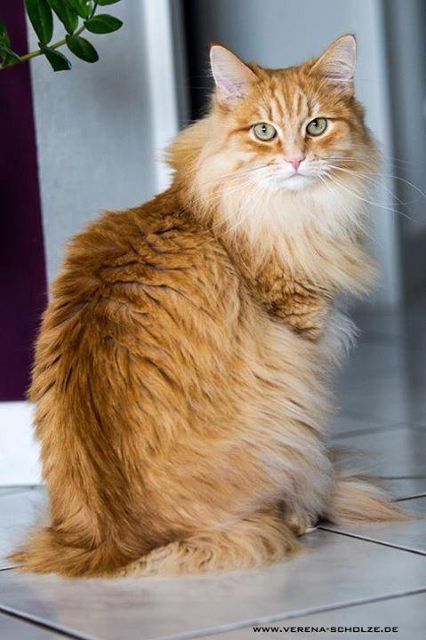 Sibirische Katze Roter Kater Siberian Cat Siberian Cat Pretty Cats Norwegian Forest Cat