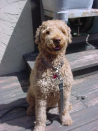 Goldendoodle Dog For Adoption In Kansas City Mo Adn 678436 On