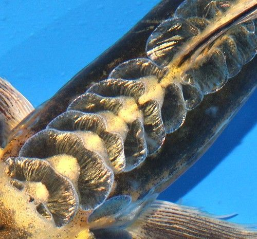 Live Koi Pond Fish Large Kikokuryu Ghost Butterfly 9 10