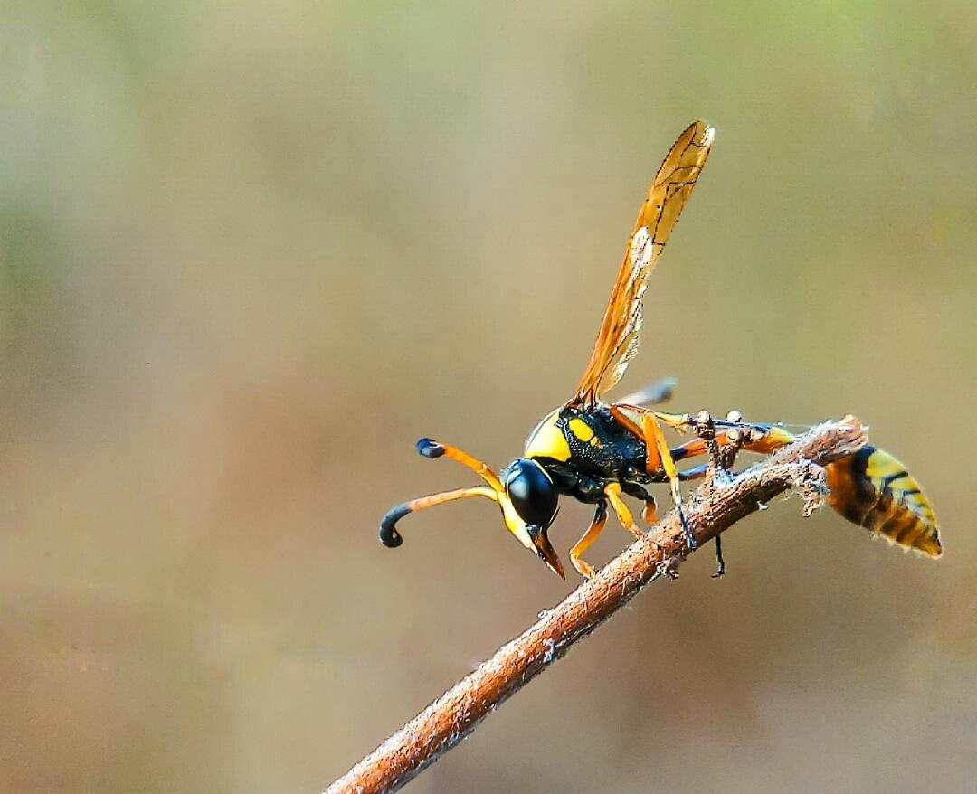 lebah kuning hitam hitam lebah