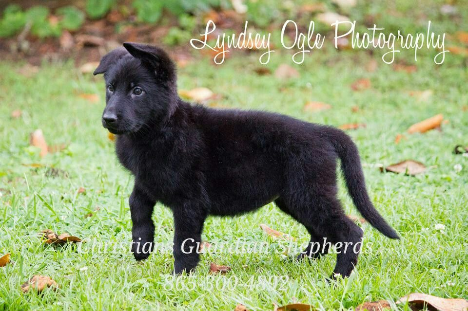 Dogs For Sale Knoxville Tn 2021
