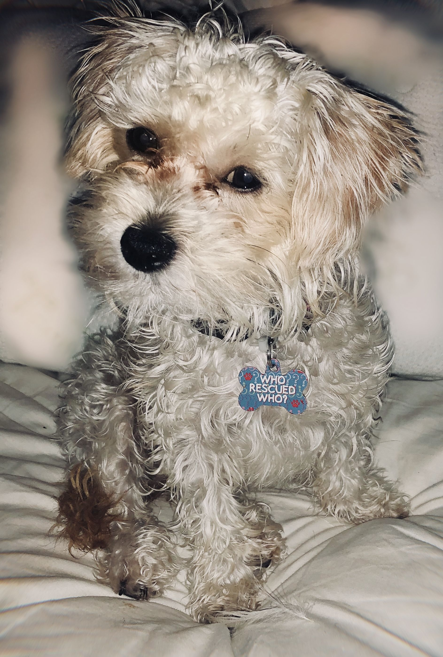 Shih Tzu Mini Poodle And Chihuahua Mix Mini Poodles Chihuahua Mix Shih Tzu