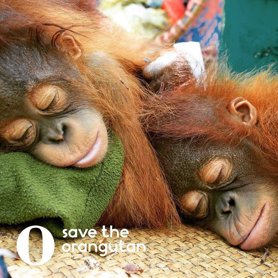 Im Tiefen Schlaf Aneinander Gekuschelt Sleeping Animals Save The Orangutans Orangutan