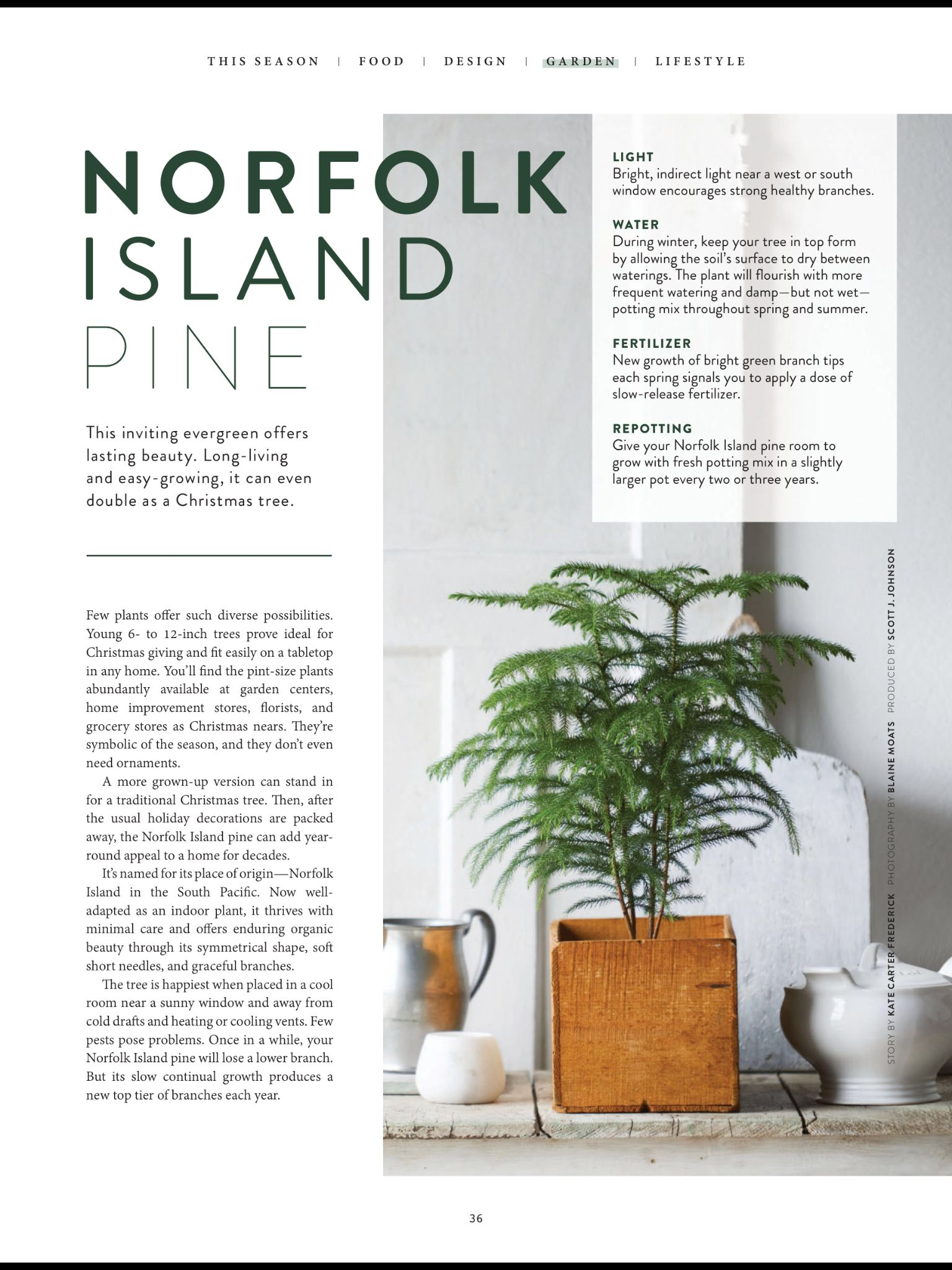 norfolk island pine from the magnolia journal winter 2018 read it