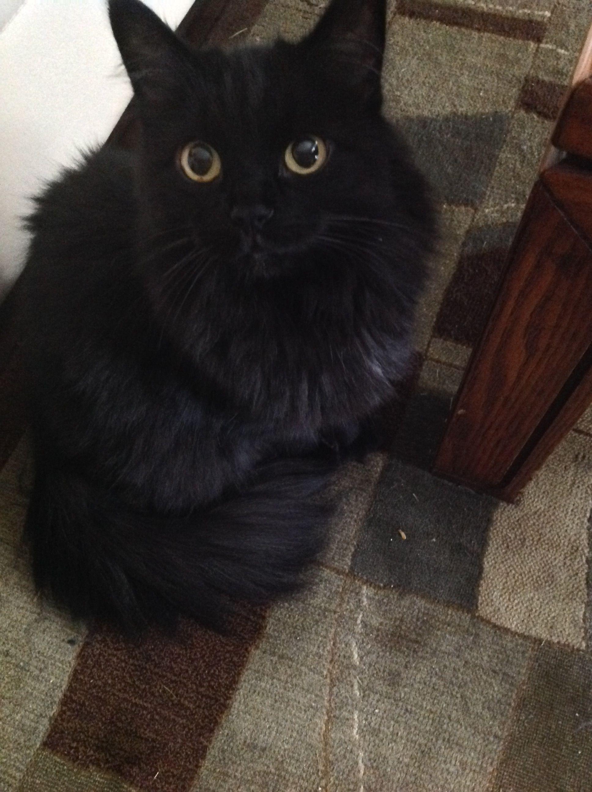 My Girl Sasha 💗 Black cat, Fluffy cat, Cat photo