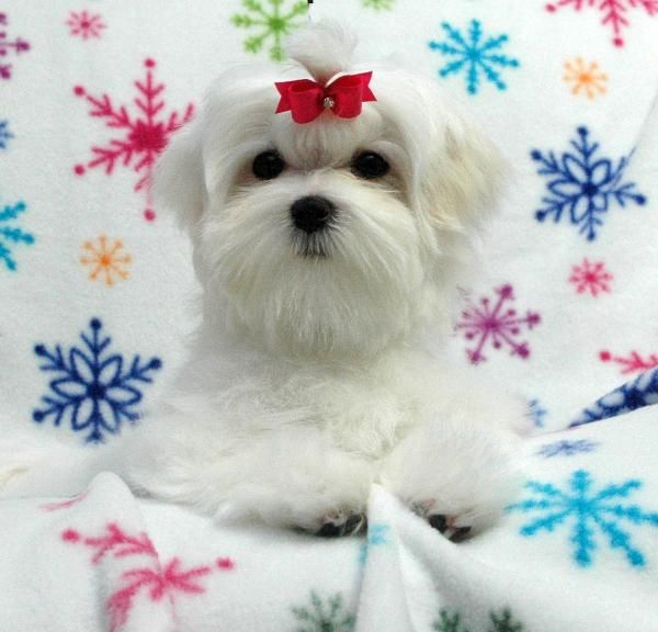Chrisman Maltese Available Puppy And Puppies With Images