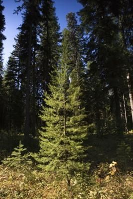 How To Tell If An Evergreen Tree Is Dead Ehow Com Evergreen Trees Conifer Trees Evergreen