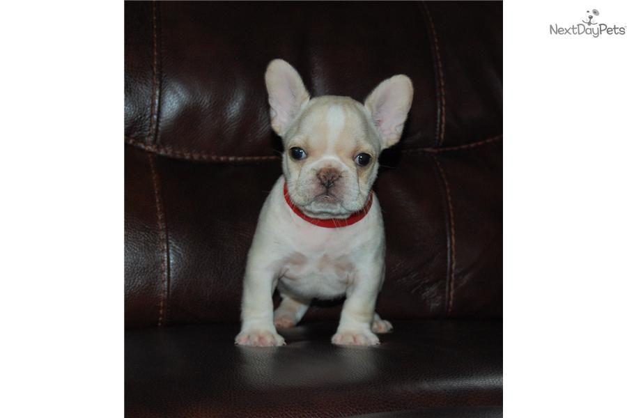Meet Fala A Cute French Bulldog Puppy For Sale For 2 000 Fala