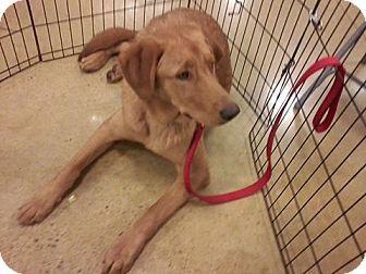 Golden Retriever German Shepherd Dog Mix Dog For Adoption In