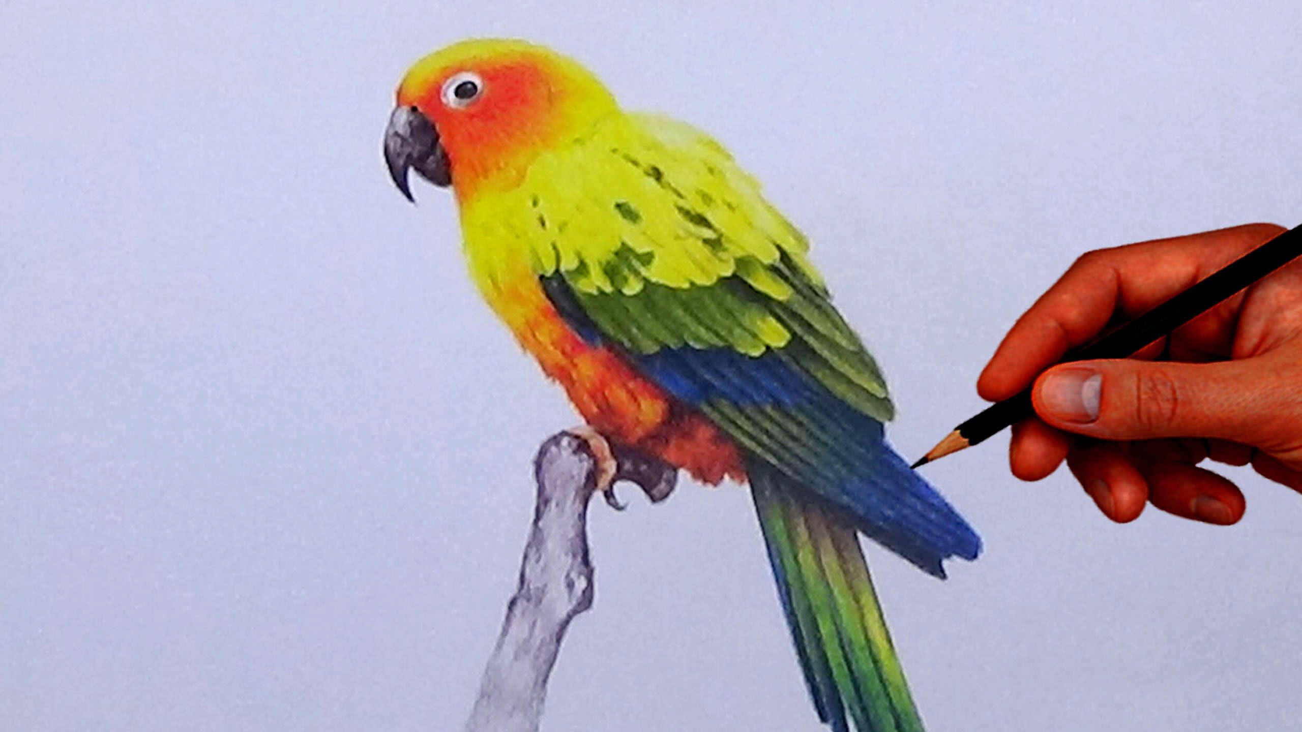 How to draw a bird with simple colored pencils sun conure