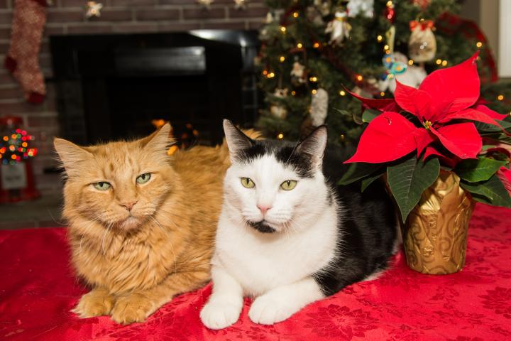 Holiday Plants That Are Harmful to Cats and Dogs Cats