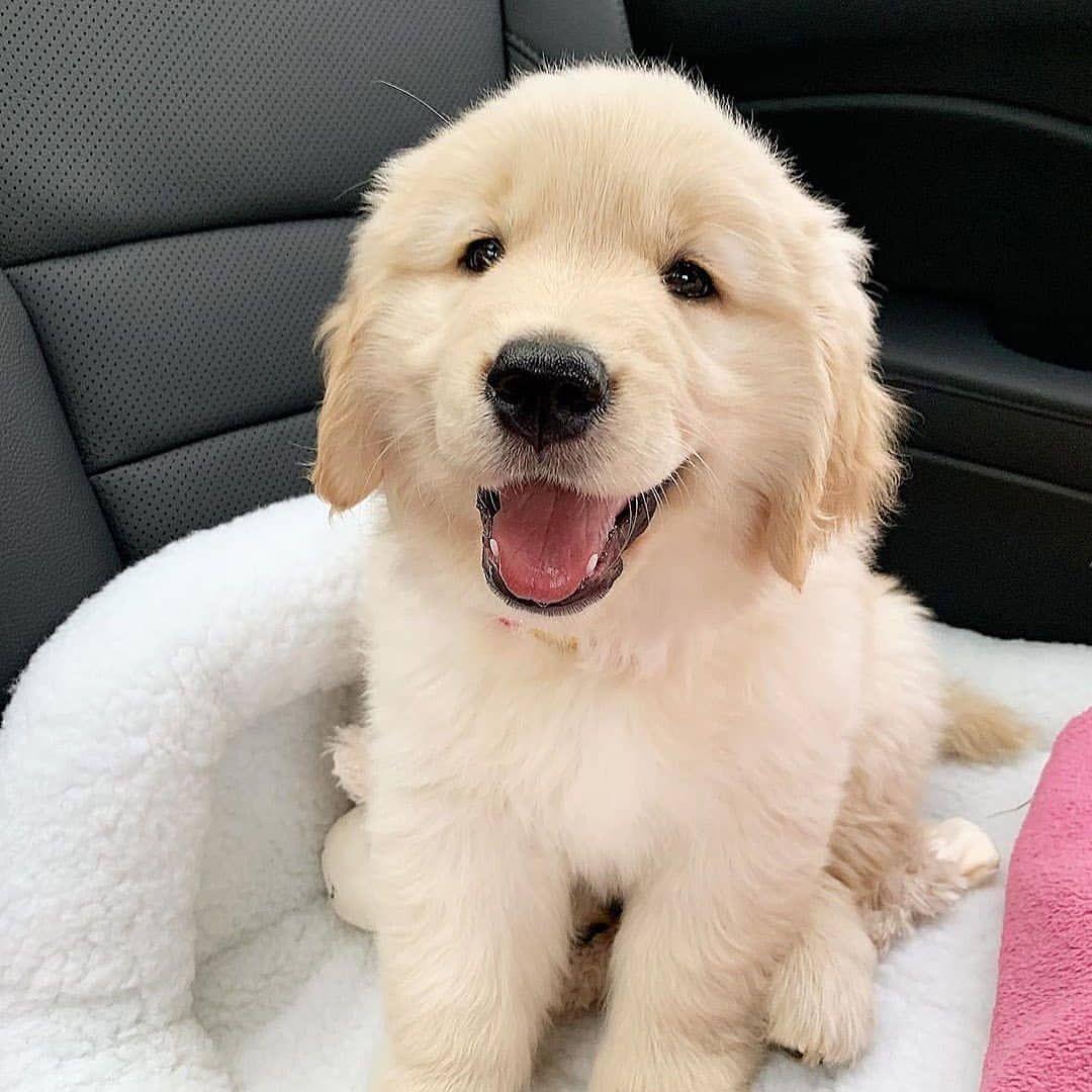 Golden Retriever Vs Labrador Retriever Vs German Shepherd Pros Cons In 2020 Cute Dogs And Puppies Cute Puppies Puppies