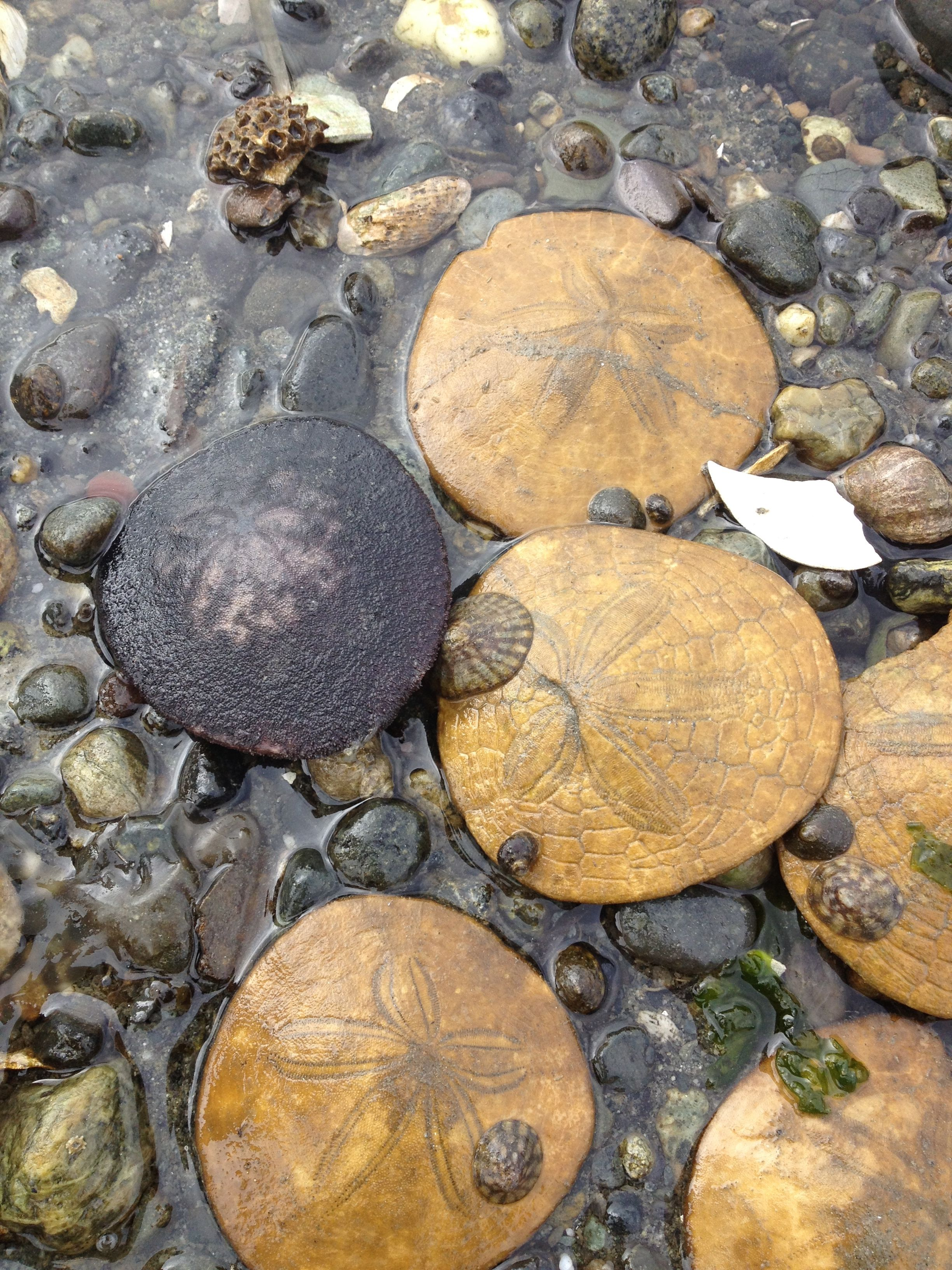 photo How to Find Sand Dollars