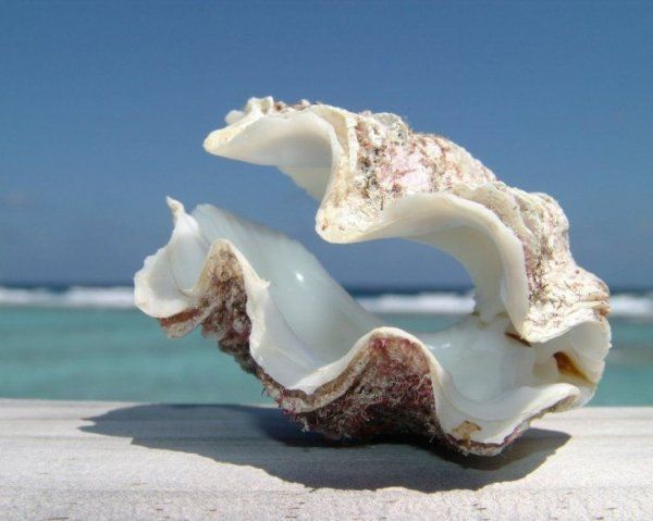 Морские раковины (40 фото)   Морские раковины, Ракушки ...