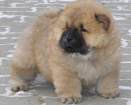 Chow Chow Animal Chow Chow Puppies For Sale Dubai Animals Pets Chow Chow Puppy Chow Puppies For Sale Puppies