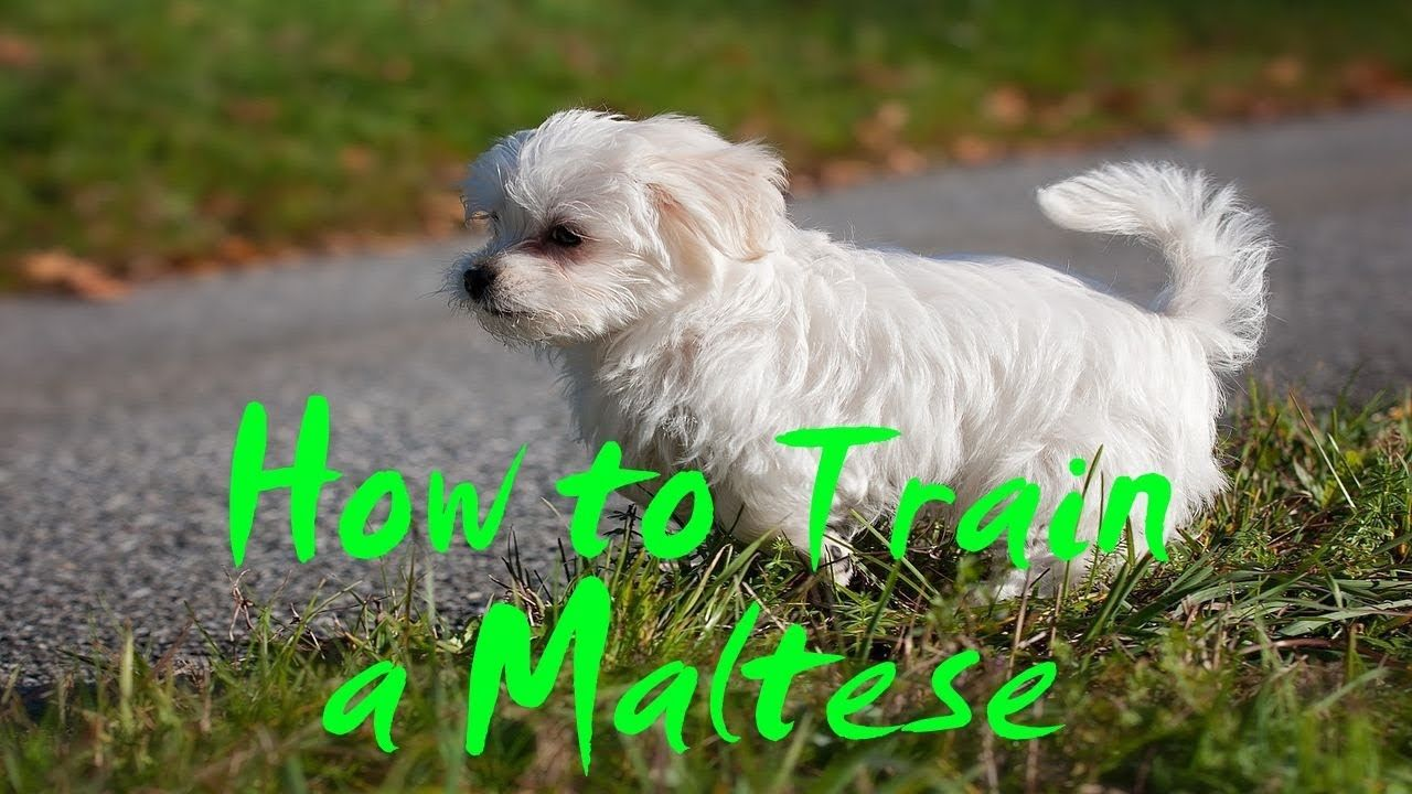 How To Train A Maltese How To Potty Train A Maltese Puppy With