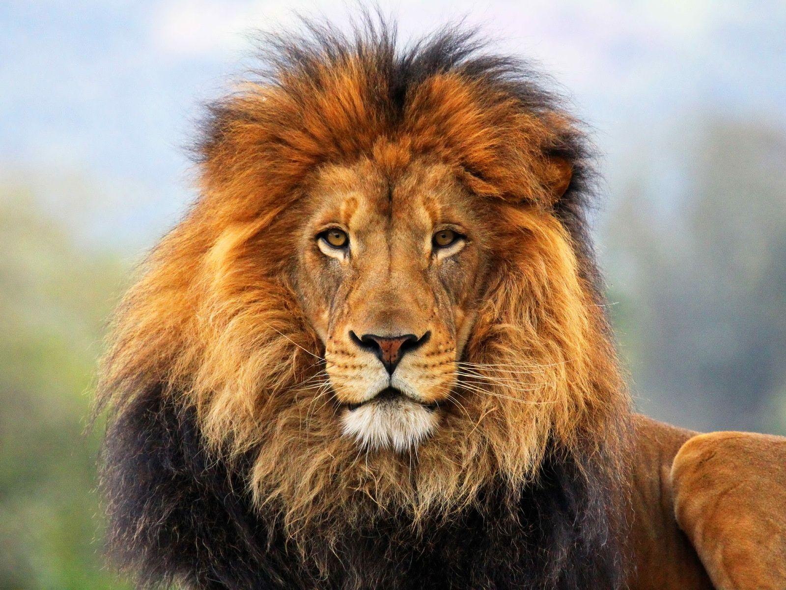 Lion Wallpaper Lion Images Lion Pictures Lion Art