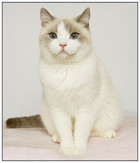 British Shorthair Cat Lilac Point With White British Shorthair