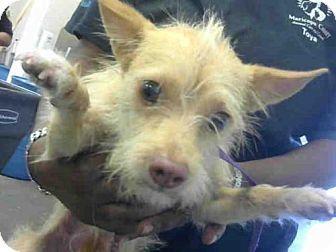 Phoenix Az Norwich Terrier Mix Meet Penny A Dog For Adoption