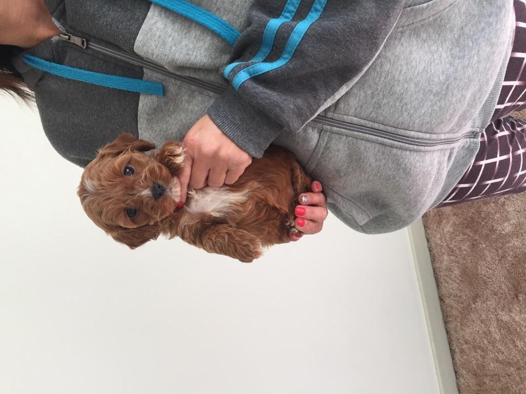 For Sale Cavoodle Puppies Toy Poodle X Cavalier Penrith Dog