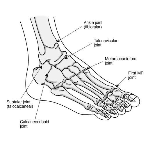 Image result for chimps foot anatomy midtarsal calcaneocuboid joint ...