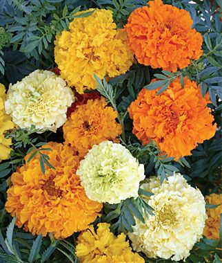 Marigold (or Calendula), Sugar And Spice Mix (Marigold Flowers bloom in Spring, Summer, and Fall)
