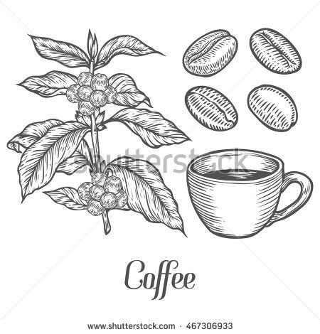 Coffee Plant Branch With Leaf Berry Coffee Bean Cup Seed