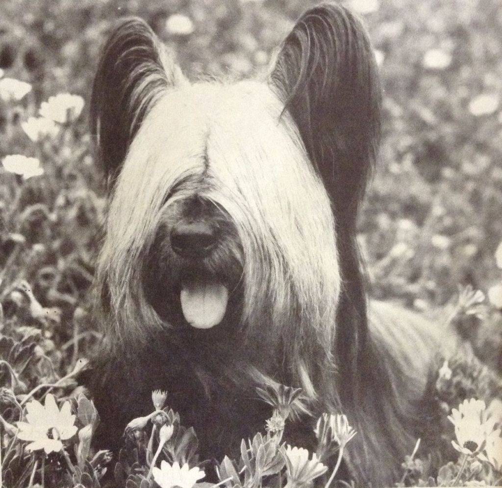Lovely Skye Terrier Fred! He was so loved years ago and ...