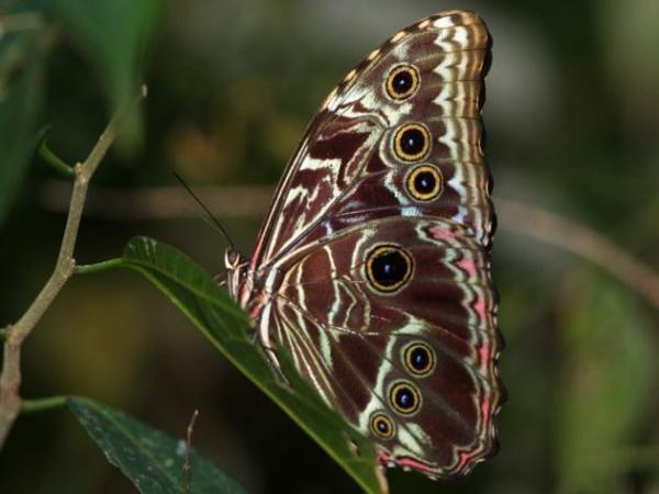 Le Pérou recense le plus grand nombre d'espèces de papillons. Voyage dans la jungle amazonienne. Le parc de Tingo María permet de jolies balades au milieu de papillons en liberté.