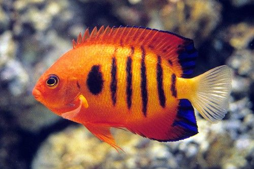 The Flame Angelfish Is A Flashy Addition To Many Aquariums -9642
