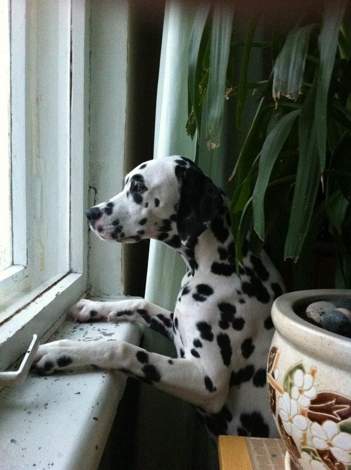 Dalmatian Lika Dalmatian Dogs Animals Spots Dalmatians Https Www Facebook Com Pages Dalmatians 221192661317562 Dalmatian Dogs Love Pet Cute Animals