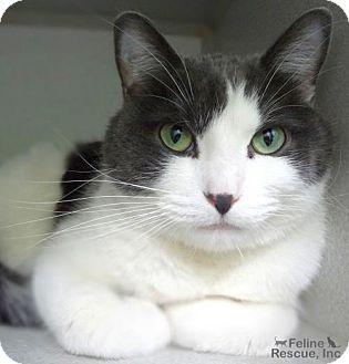 St Paul Mn Domestic Shorthair Meet Mr Bean A Cat For Adoption Cat Adoption Kitten Adoption Cats